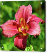 Summer Red Lily Acrylic Print