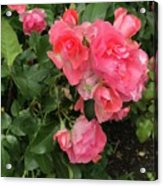 Summer Roses  Acrylic Print