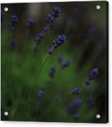Summer Scent Of Lavender Acrylic Print