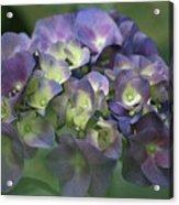 Summertime Blues- Hydrangea Acrylic Print