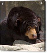 Sun Bear Acrylic Print