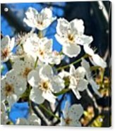 #sun Drenched #tree #blossoms So Sweet Acrylic Print