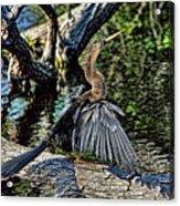 Sun Dried Anhinga Acrylic Print