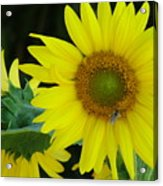 Sun Flower And Honey Bee Acrylic Print