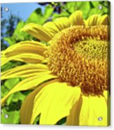 Sun Flower Art Sunlit Sunflower Giclee Prints Baslee Troutman Acrylic Print