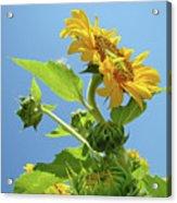 Sun Flower Artwork Sunflower 5 Giclee Art Prints Baslee Troutman Acrylic Print