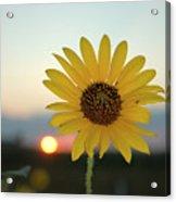 Sun Flower At Sunset Acrylic Print