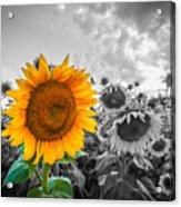 Sun Flower B And W Acrylic Print