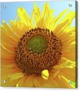 Sun Flowers Art Sunflower Giclee Prints Baslee Troutman  Acrylic Print