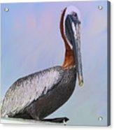 Sun Glow Pelican Acrylic Print