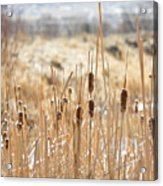 Sun Kissed Cattails - Casper Wyoming Acrylic Print