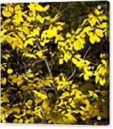 Sun-kissed Golden Leaves 2 Acrylic Print
