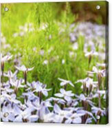 Sun-kissed Meadows With White Star Flowers Acrylic Print