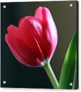 Sun Kissed Tulip I Acrylic Print