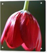 Sun Kissed Tulip II Acrylic Print