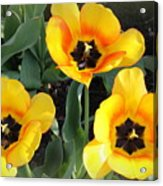 Tulips Kissed By The Sun Acrylic Print