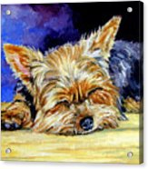 Sun Light Snoozer - Yorkshire Terrier Acrylic Print by Lyn Cook