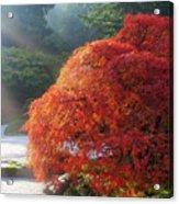Sun Rays Over Old Japanese Maple Tree Acrylic Print