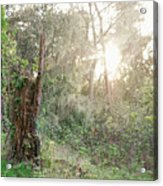 Sun Shining Through Trees In A Mysterious Forest Acrylic Print