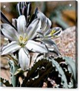 Sun Soaked Desert Lily Acrylic Print