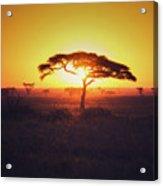 Sun Through Acacia Acrylic Print