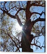 Sun Tree Acrylic Print