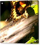 Sunbathing Butterfly Acrylic Print