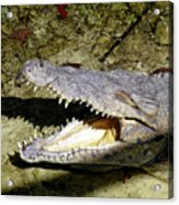 Sunbathing Croc Acrylic Print
