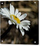 Sunbathing On A Daisy Acrylic Print