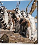 Sunbathing Ring-tailed Lemurs Acrylic Print