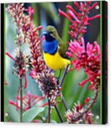 Sunbird Acrylic Print by Holly Kempe