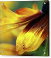 Sunburst Petals - 2 Acrylic Print