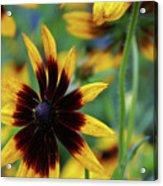 Sunburst Petals Acrylic Print