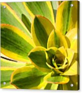 Sunburst Succulent Close-up 2 Acrylic Print