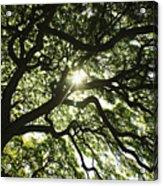 Sunburst Through Tree Acrylic Print