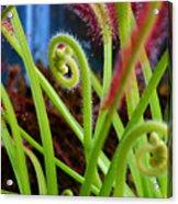 Sundew Drosera Capensis 3 Acrylic Print