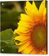 Sunflower-1 Acrylic Print