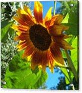 Sunflower 101 Acrylic Print