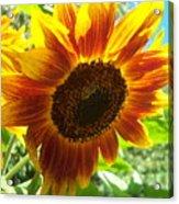 Sunflower 104 Acrylic Print