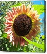Sunflower 107 Acrylic Print