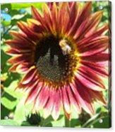 Sunflower 108 Acrylic Print