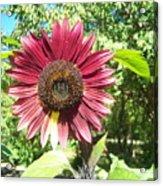 Sunflower 110 Acrylic Print