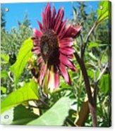 Sunflower 111 Acrylic Print