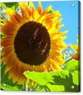 Sunflower 117 Acrylic Print