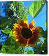 Sunflower 120 Acrylic Print