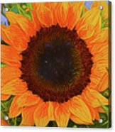 Sunflower 12118-3 Acrylic Print