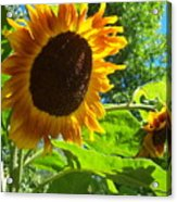Sunflower 122 Acrylic Print