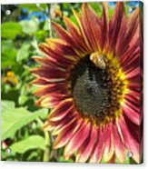 Sunflower 129 Acrylic Print
