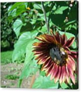 Sunflower 134 Acrylic Print