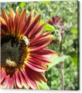 Sunflower 135 Acrylic Print